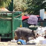 האם זכרון יעקב בדרך להיות חיפה? חזירי הבר מרחיבים גבולות ותועדו אוכלים זבל במושבה [וידאו 📹]