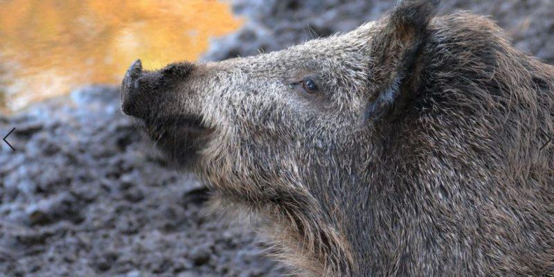 חזיר בר - פיקסביי