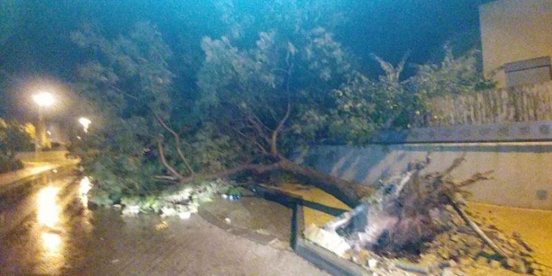 013 - עץ קרס מהרוחות בפרדס חנה- צילום דוברות המועצה